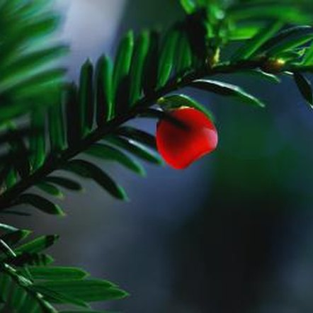 Birds eat the the yew berry, but the seed inside is fatally toxic to humans.