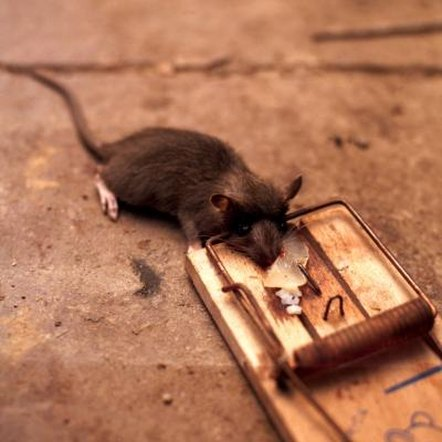 how to catch mice humanely
