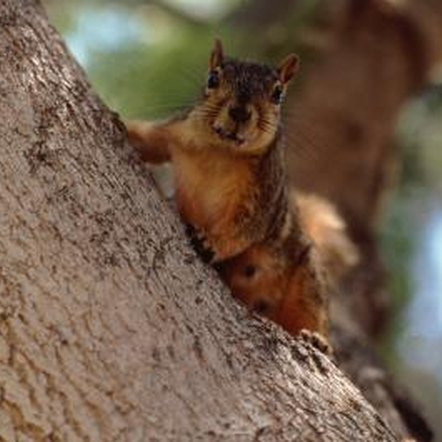 Squirrels can damage pecan trees and eat a good deal of pecans in the process.