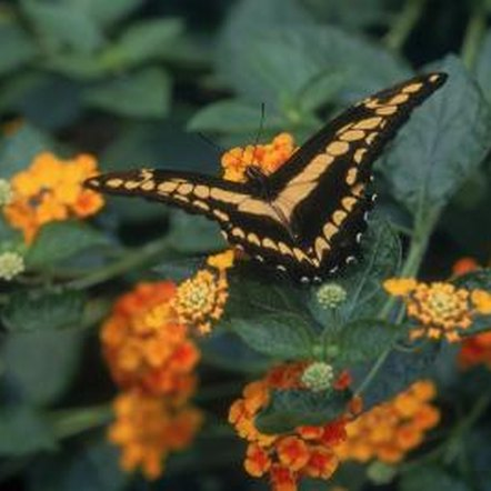 Lantana flowers draw butterflies while the bitter foliage repels deer.