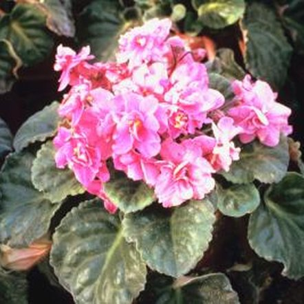 African violets thrive in small, shallow pots.