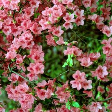 Coral bells azalea information home guides sf gate - Care azaleas keep years ...