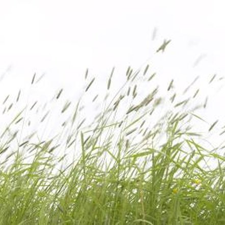 salt and grass growth Free essay: the effect of salt concentration on grass growth abstract our aim was to test the effect of different salinities on the growth of plants which.