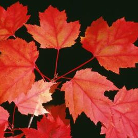 Maples such as the Autumn Blaze hybrid contribute to colorful fall foliage landscapes.