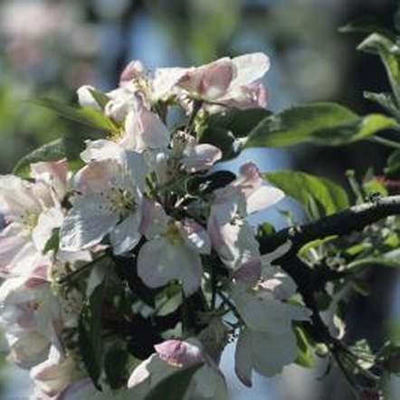 Pruning apple tree roots can lead to healthier fruit.
