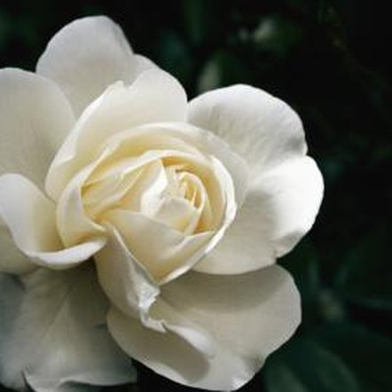 White meidiland roses need just enough pruning to encourage the continued production of new canes.