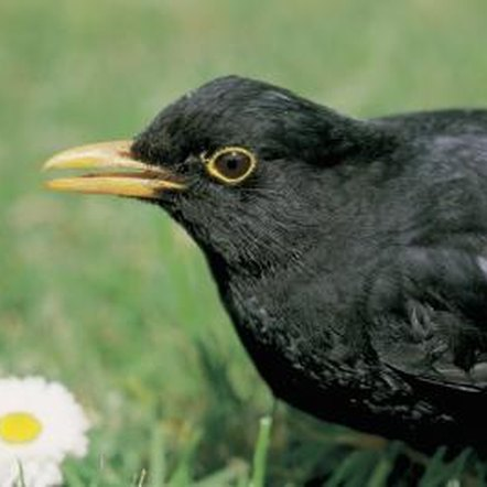 Use a combination of methods to deter blackbirds from a yard.