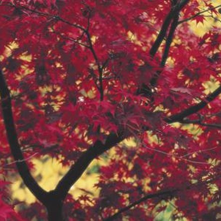 A number of maple varieties display brilliant red foliage.