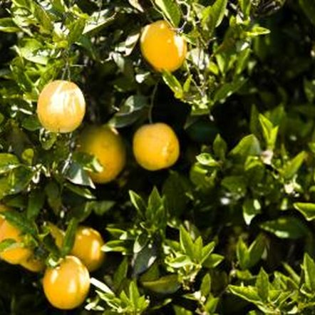 Fertilize citrus trees in the spring and summer.