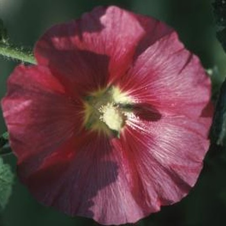 Hibiscus grows as a medium-sized flowering shrub.