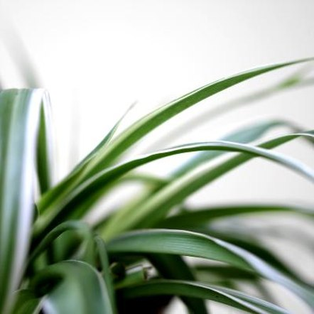 Healthy green leaves and baby plants are the sign of a happy spider plant.