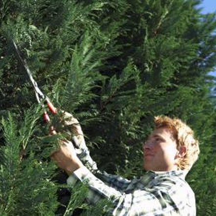 Leyland cypress trees respond well to pruning and shearing.
