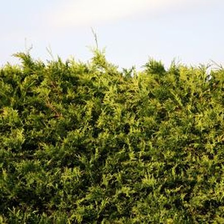 Irish Eyes Cypress trimmed into a hedge require frequent upkeep.