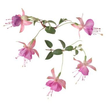 There are thousands of fuchsia cultivars.