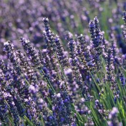 Lavender can be dried to create beautiful floral arrangements.