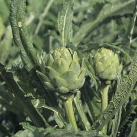 Healthy artichoke plants have a uniform, silvery-green color.