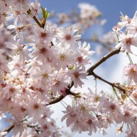 Cherry trees need the correct spacing for pollination and health needs.