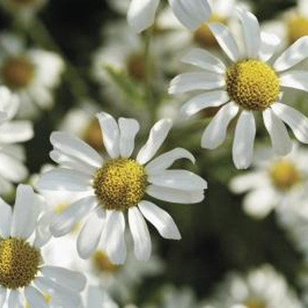 Chamomile blossoms permeate a garden with their sweet fragrance.