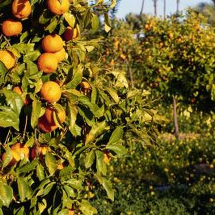 Keeping orange trees healthy and vigorous helps prevent pests and problems.