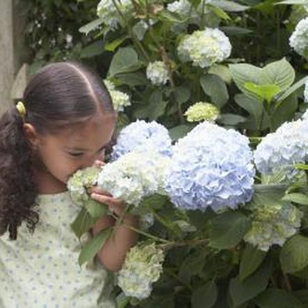 Bigleaf hydrangeas can grow 6 feet tall with a 10-foot spread.
