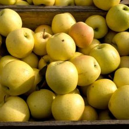 """Golden Delicious"" apple trees on dwarf rootstock work best for small home orchards."