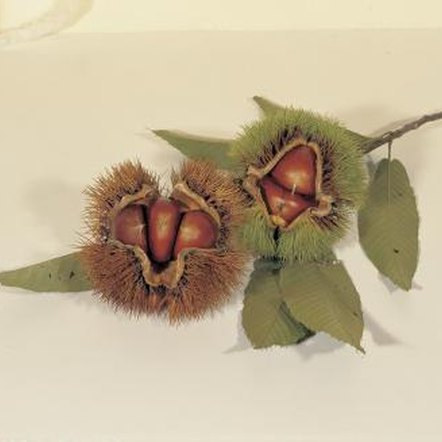 Ripe chestnuts, ready to grow into trees.