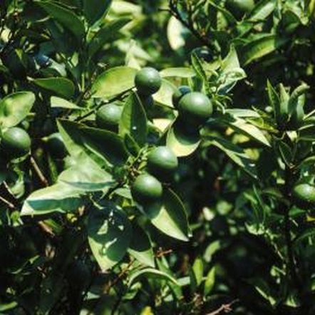 Persian lime trees can reach 20 feet when planted in warmer climates.