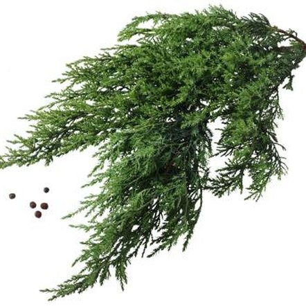 Junipers produce small inconspicuous flower-like cones