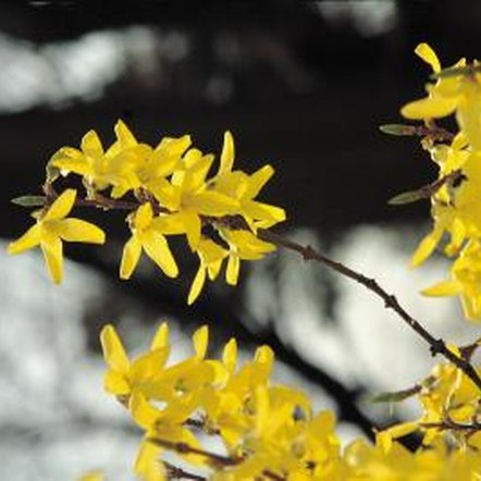 Forsythia flowers emit a subtle fragrance.