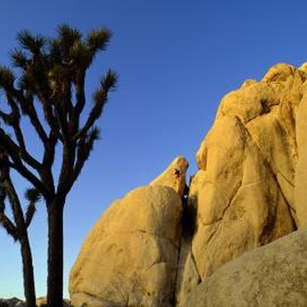 The Joshua tree (Yucca brevifolia) is a yucca with a treelike habit.
