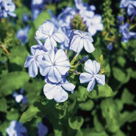 Regular pruning encourages plumbago to produce new growth, increasing its flowers.