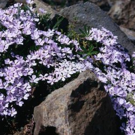 An evergreen plant, creeping phlox remains attractive throughout the winter.