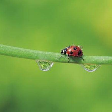 The innocent-looking ladybug is a formidable asset in the gardener's pest-control arsenal.
