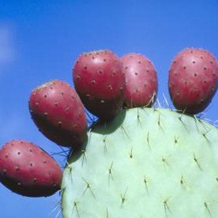 Fruits of the prickly pear cactus grow along the edge of its pads.