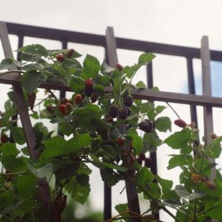 Blackberry brambles can be trained to grow on a trellis.
