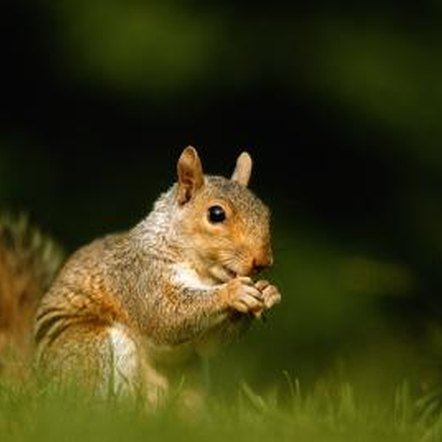 Squirrels are among the most difficult-to-control garden pests.