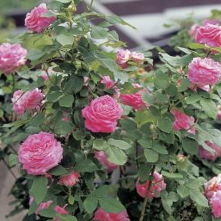 Keep roses fungus free by limiting garden moisture.