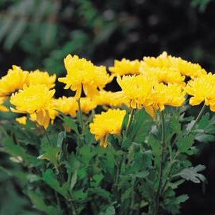 Separating potted mums prolongs their life and provides more plants at no cost.