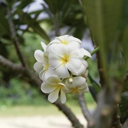 garden design with how to plant plumeria trees from tree limbs home guides sf gate with