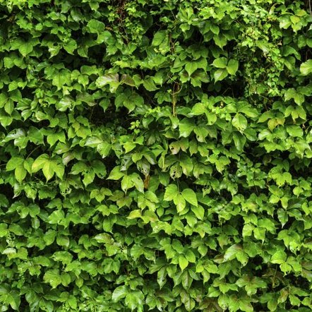 how to get rid of ivy roots