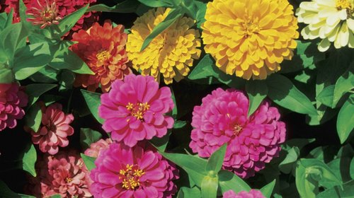 <p>Deadhead or cut zinnias for bouquets frequently to keep flowers forming.</p>