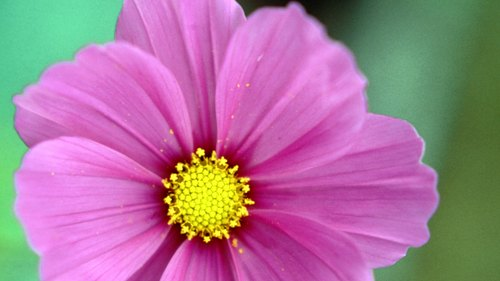 <p>Drought-tolerant cosmos blooms all season long.</p>