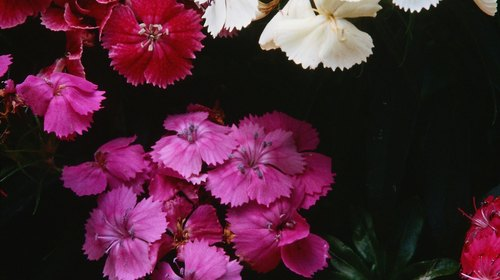<p>Sweet Williams (Dianthus) make fragrant cottage garden flowers.</p>