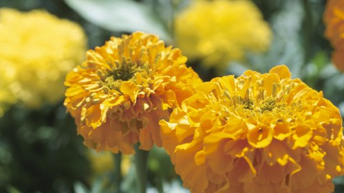 <p>Marigolds are good companions for tomatoes.</p>