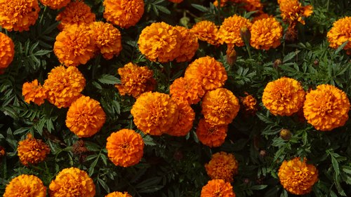 <p>Some varieties of marigolds flower in six weeks after planting.</p>
