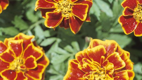 <p>Marigolds grow rapidly from planting to bloom time.</p>