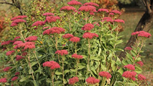 <p>'Autumn Joy' is one of the most popular varieties of sedum due to its vibrant fall color.</p>