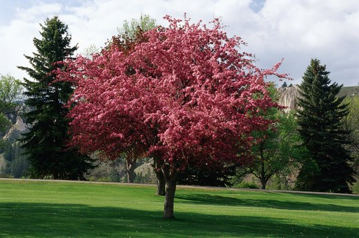 Aromatic Trees to Plant: Crabapple