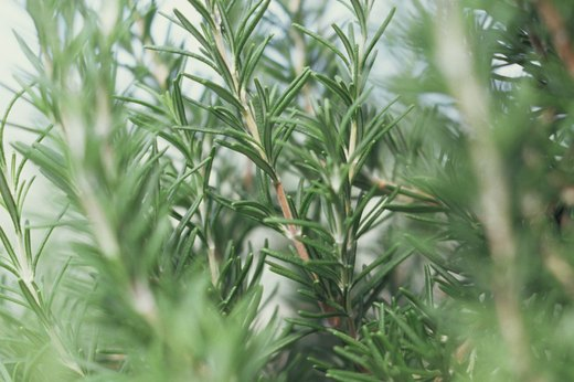 Aromatic Herbs to Plant: Rosemary