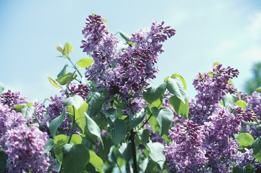 Late Spring: Prune Spring-Blooming Shrubs
